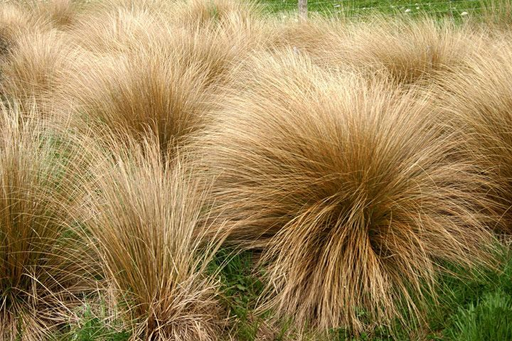 Chionochloa rubra  New Zealand plants: Golden red tussock grass