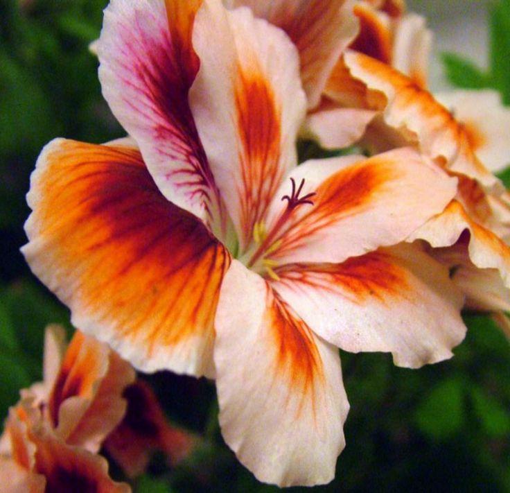 Pelargonium  www.perugiaflowershow.com