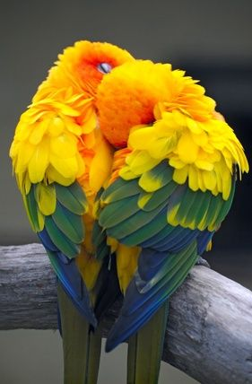 Sleeping Beauties  ~  Sun Conures  I have a sun Conure & she is Beautiful & Is a big cuddler!!Love Kiwi!!