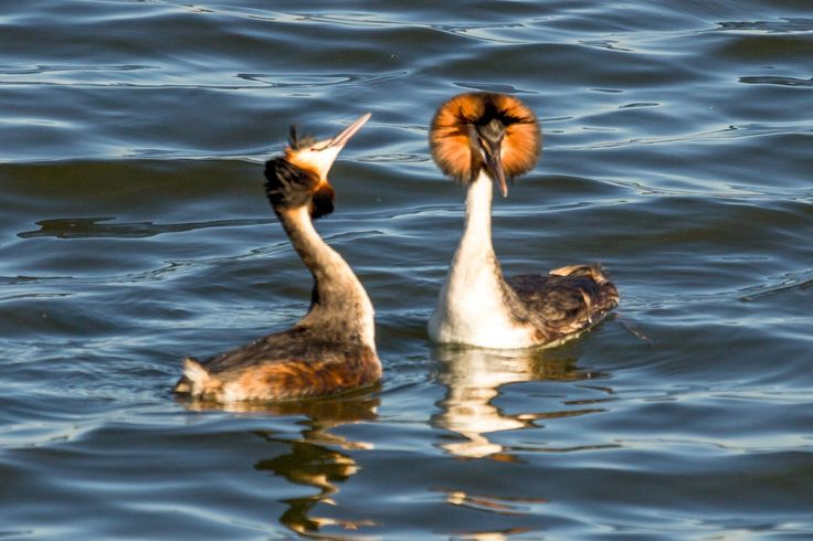 Great crested grebe -