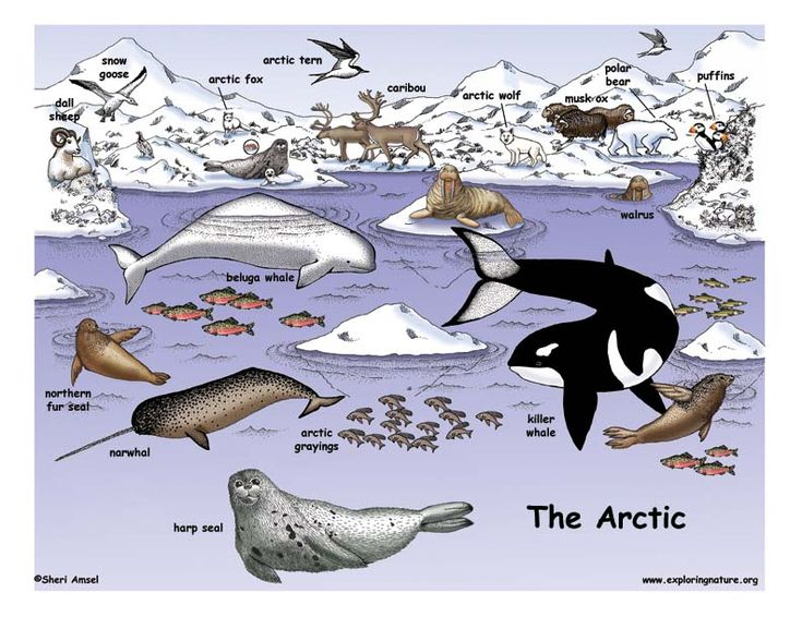 Arctic Habitat Animals | www.pixshark.com - Images ...