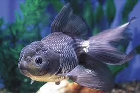 Tropical Paradise Fish: Blue Oranda Goldfish (Carassius auratus) http://www.tropicalparadisefish.com/2012/01/blue-oranda-goldfish-carassius-auratus.html