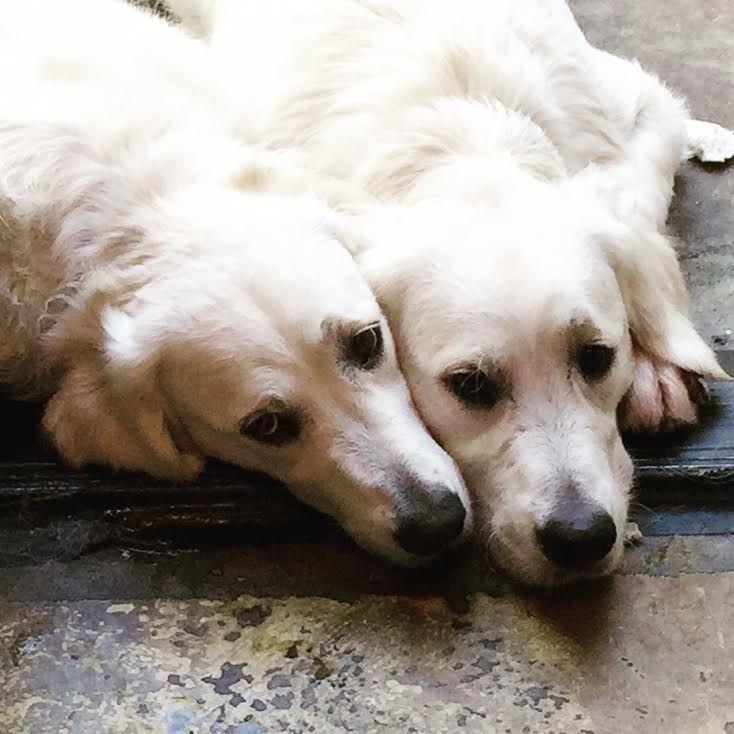 Lottie and Ryder snuggle! #dogsofmecox #goldensofpinterest #petsofmecox #goldens #EnglishCream#doglover #dog