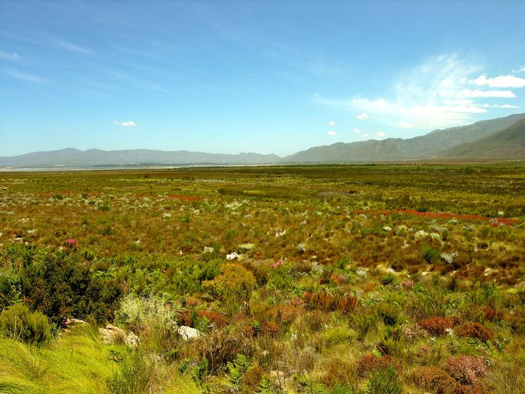 Did you know that fynbos has a very high species diversity with more than 7000 species crammed into just 46 000 square kilometres at the south western tip of Africa.