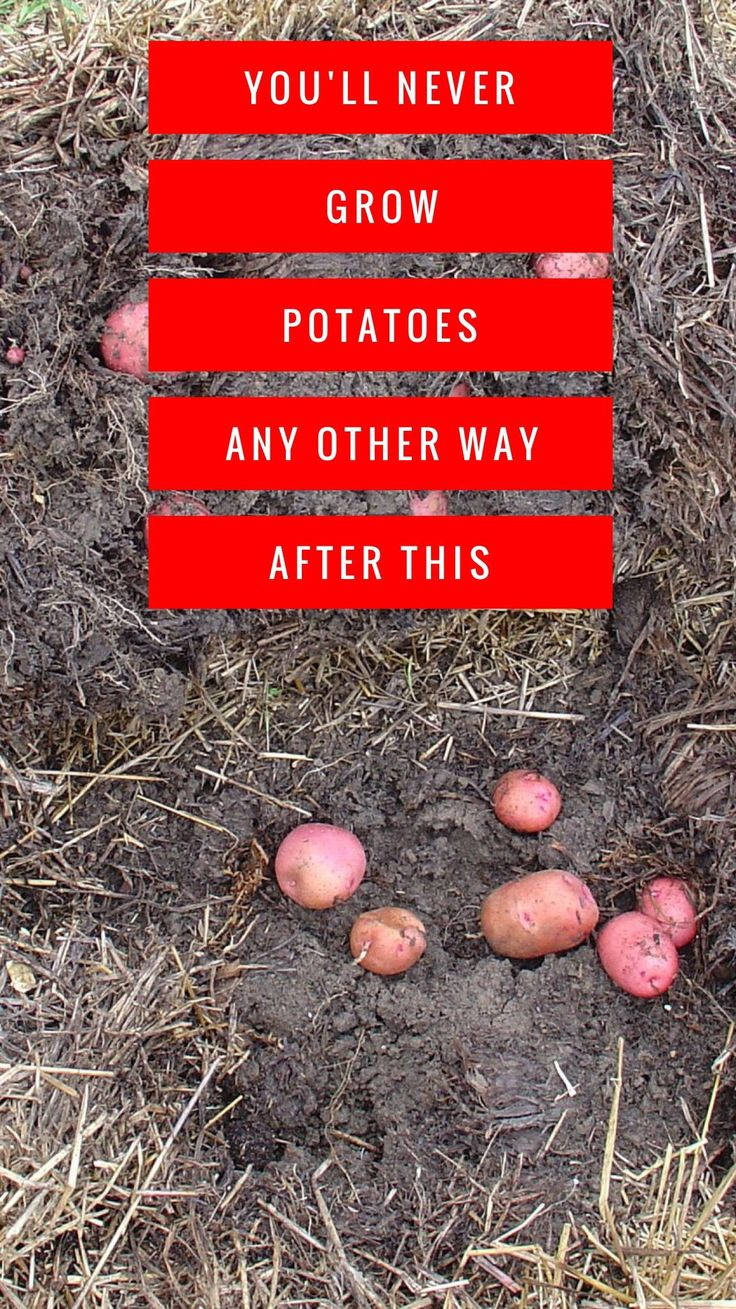 Once you try the straw bale gardening method for growing potatoes, you'll never want to use any other method again. A straw bale garden isn't just good for potato growing though. It works for your entire vegetable garden.