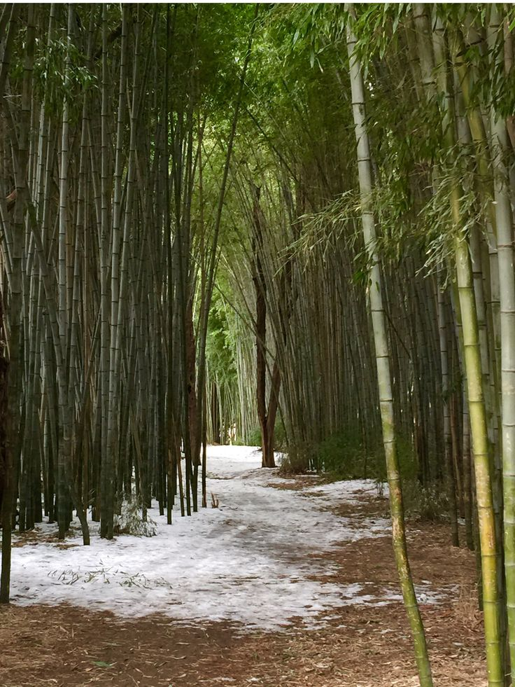 Bamboo Forest. Cherokee,NC