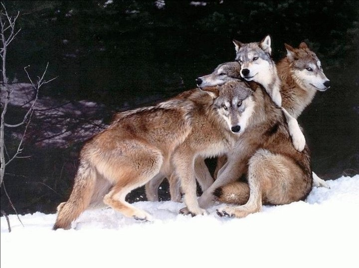 Wolf Pack: Wolf Packs, Group Hugs, Animal Kingdom, Wolfpack, Dogs Pile, Gray Wolves, Families Photo, Amazing Animal, God Creatures
