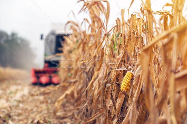 Harvesting corn crop field. Combine harvester working on plantat stock photo (c) stevanovicigor (#8532384) | Stockfresh