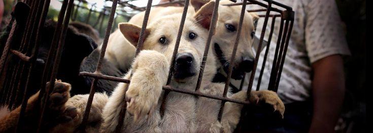 Yulin to abolish the dog meat festival - Avaaz!