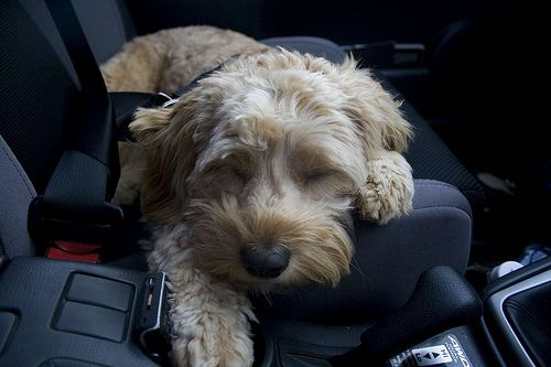 Car Travel for the New Pup | petMD