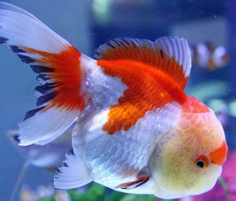 ORANDA GOLDFISH WITH BEAUTIFUL COLORS.