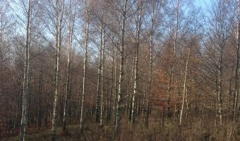View of the silver birch trees, with beautiful white-grey bark.