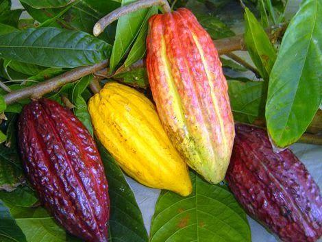 Cacao ~ Sao Tome.
