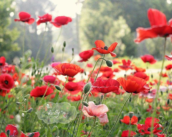 Pretty Spring poppy field. One little pink poppy among all the red. Fine art Print. Professionally printed upon order. My photographs are professionally printed with archival inks on premium acid-free