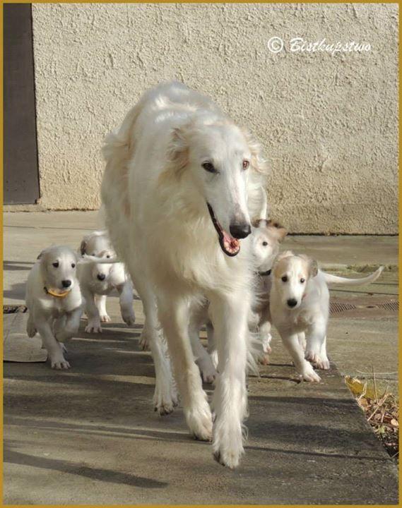 Borzoi mama and pups .