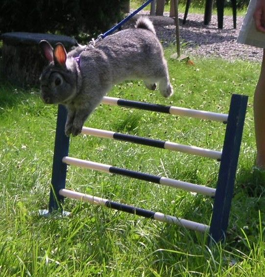 kaninhoppning, rabbit agility, bunny