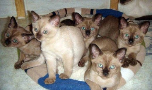 Ricela Cattery tonkinese ohio cat breeders cats and kittns for sale