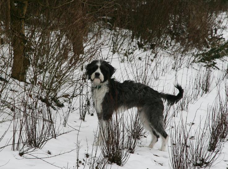"""Jasper/Harley, 27 mei 2011    """"het gaat het erg goed met harley.  We hebben EG B1 met suc6 afgerond en eind februari gaan we beginnen met behendigheid.  Daar is het ook wel echt een hond voor.  Hij is enorm lenig en behedig en super super super snel.     Dit jaar zijn we natuurlijk ook weer erg veel  met hem naar het strand geweest, bos, duinen, nieuwe wandel gebieden en noem maar op.  Hij gaat ook met mij naar school en ook dat gaat super."""""""