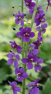 """Verbascum phoeniceum  'Violetta'  Highly recommended Verbascums (""""Mullein"""") for beauty & extreme easiness to grow. Truly """"plant and forget,"""" not fussy about soil, drought tolerant, deer and snail proof, & grow in sun to bright shade. If you cut them back, they will re-bloom fairly quickly-plus they reseed. To sum it up, they make your garden look great with absolutely no work! This rare selection makes branching spikes of a rich, dark, violet-purple. To 30"""" tall. Sun to Pt. Shade  Low-Avg…"""