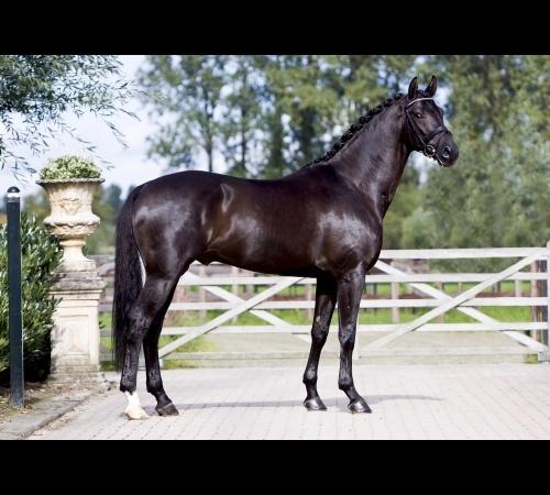 Elite Stallions: Single Stallion Page. Wynton, KWPN