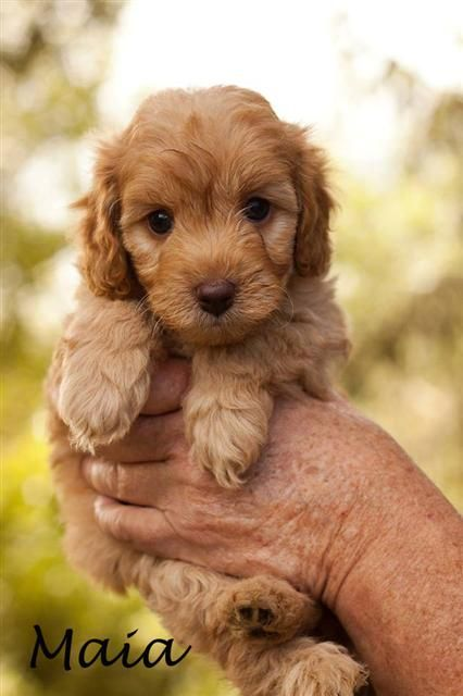 Beautiful Labradoodle Anime Adorable Dog - fe90d7723b458e5a0cd9e647f30e7502--labradoodle-puppies-australian-labradoodle  Gallery_805242  .jpg