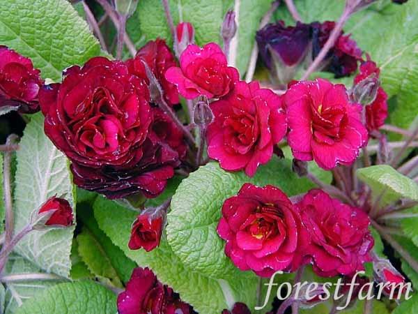 April rose flower-1035