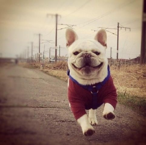 Look at that frenchie smile!