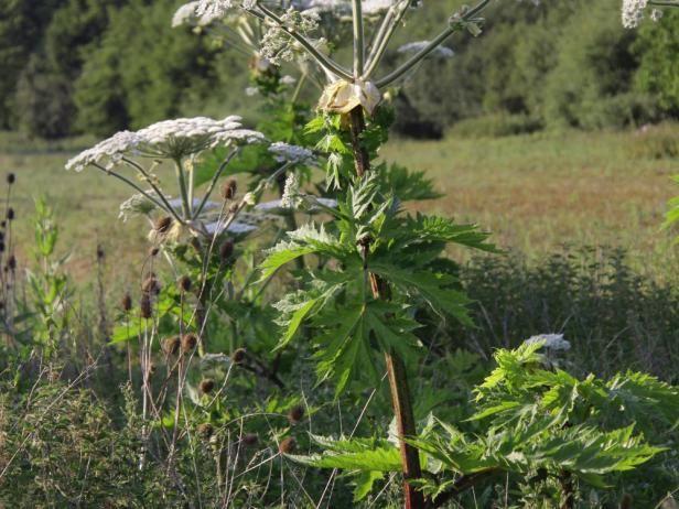 The 25 best Giant hogweed plant ideas on Pinterest Hogweed rash