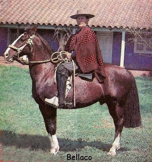 (2) Caballo Chileno Chilean Horse and Cowboy Ramón Cardemil, una institución en el Rodeo chileno