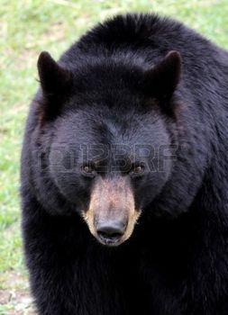 black bear: Orso nero da vicino Archivio Fotografico