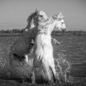 Camargue Horses 4 - stock photo