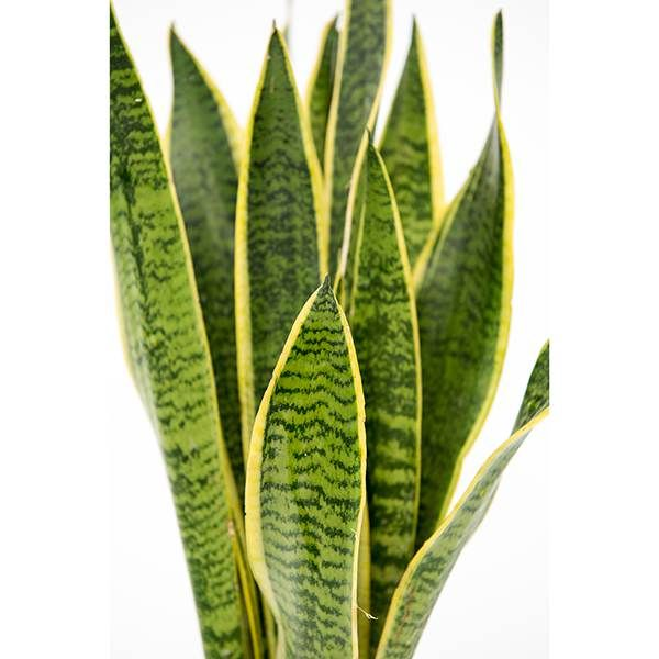 buy mother in laws tongue variegated snake plant sansevieria trifasciata 39 var laurentii. Black Bedroom Furniture Sets. Home Design Ideas
