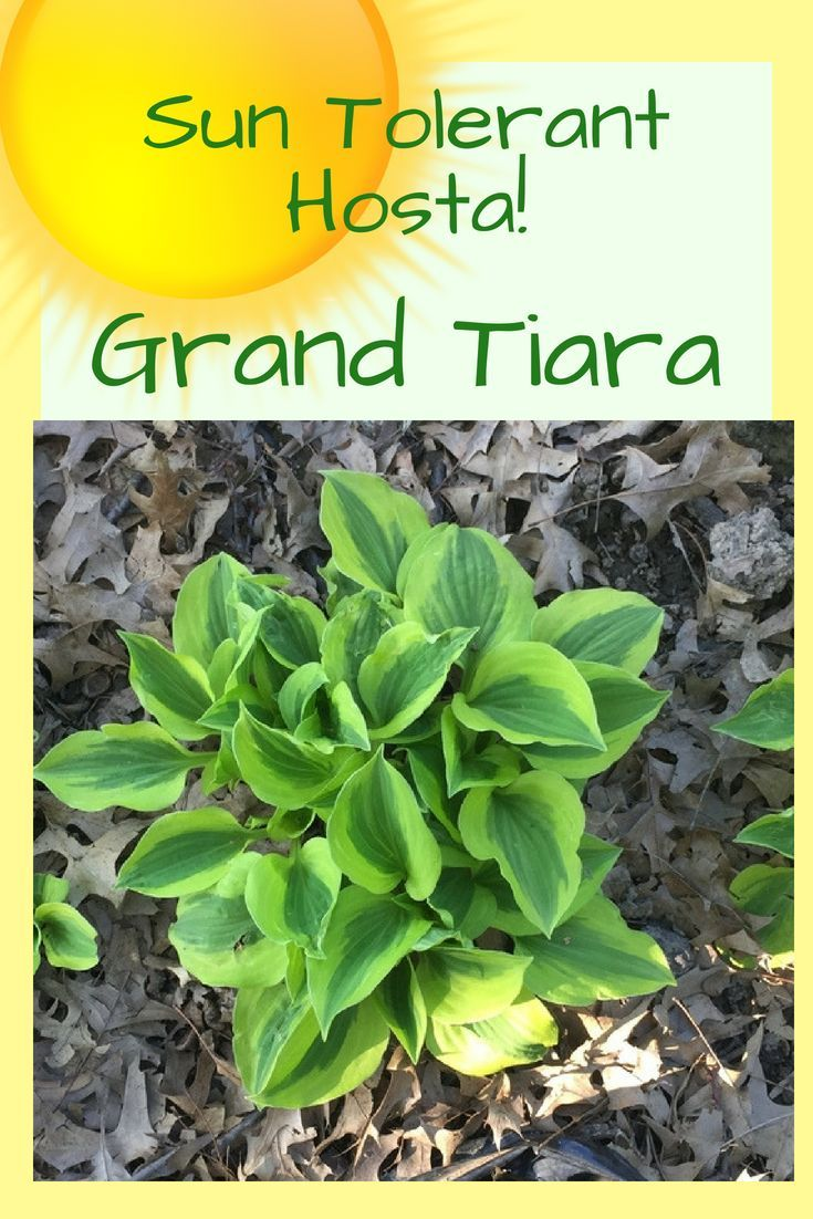 Grand Tiara Hosta Is Sun Tolerant And One Of The Best Hostas To