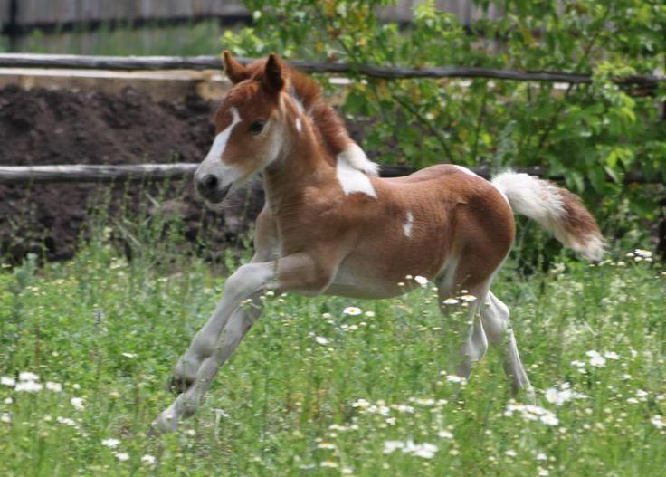 Horses for sale - Shetland Pony Horse Russia Pony For sale ZHerebchik poni