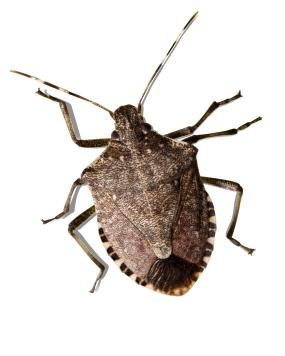 Fight for it - This is what a typical stink bug looks like...I hate them with a passion! They make my home less happy!!!