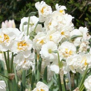 Narcisse Bridal Crown A fleurs d'orchidées blancs parfumés.