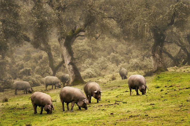 Nuestros cerdos Cerdos criados en libertad y alimentados  de forma natural y tradicional.