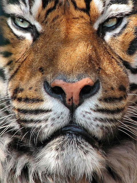 wild cats: handsome mean bastard: Sumatran Tiger, Kampar (via WorldlyAnimals.tumblr 28885743802)