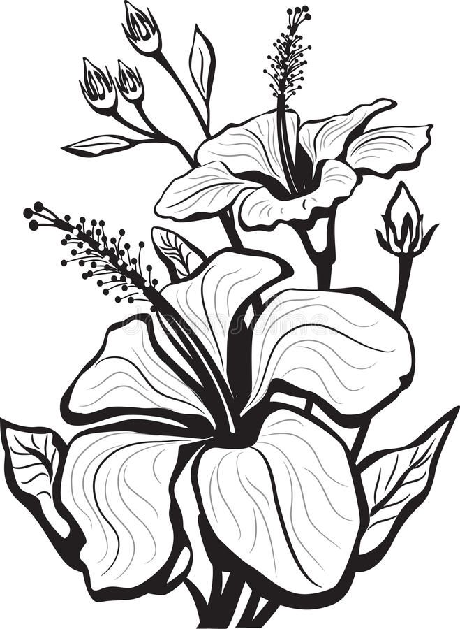 Download Sketch Of Hibiscus Flowers Stock Vector Image Of Scent 19061339 Flower Sketches Hibiscus Flower Drawing Flower Drawing