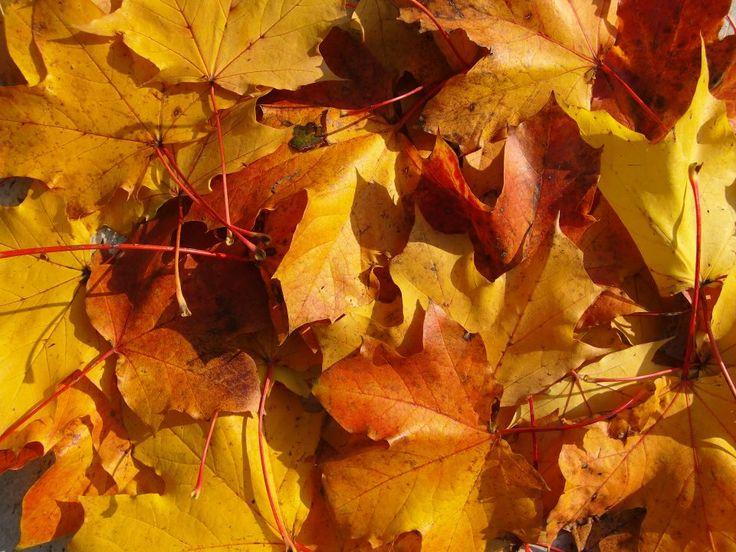 Gerade jetzt im Oktober glühen die Spitzahorne in ihrer größten Pracht. Je mehr Sonne sie abkriegen, desto feuriger brennen sie, und selbst wenn es düster und regnerisch wird, scheint bei den Ahornen doch immer ein warmer Sonnenfleck freundlich im Grau zu leuchten. H