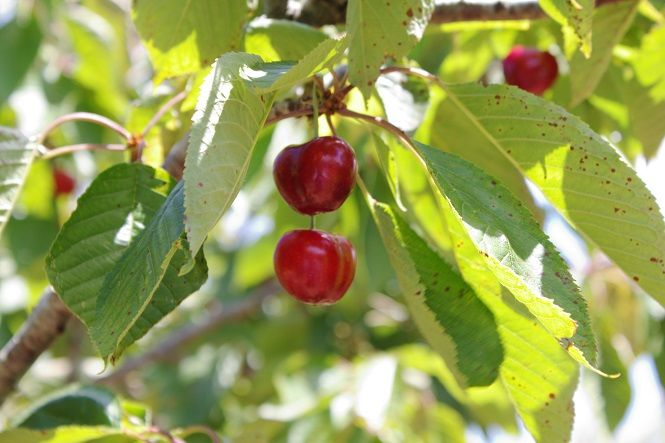 Growing a cold-hardy food forest: Berries, vines, fruit trees and more…
