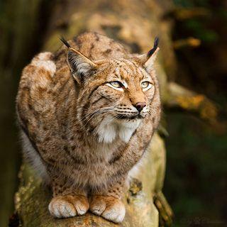 Wil jij alles weten over de lynx? http://www.stichtingspots.nl/index.php?page=185 (Foto: Cloudtail)