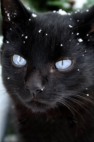 A black she cat with icy blue eyes