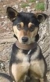ADOPTED. Crackers is an adoptable Miniature Pinscher Dog in Plainfield, IL.  Crackers is an adorable 1 yr old Min Pin Mix. He is about 20 pounds. He loves kids, cats and dogs. He is already crate and potty tra...