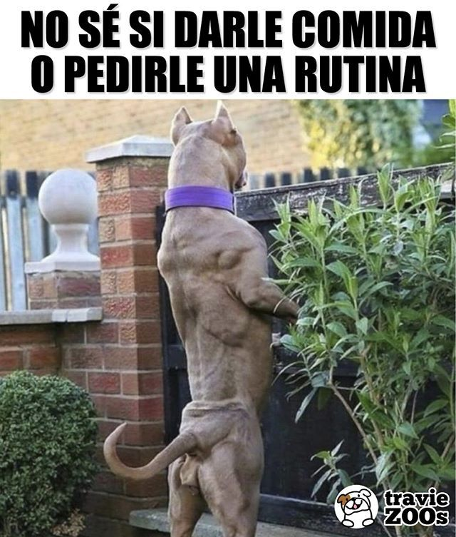 Rayos Esta Mas Musculoso Que Yo Perro Pitbull Dogs Animales Rutina Fit Chistes Graciosos De Animales Memes Divertidos Sobre Perros Chistes De Animales