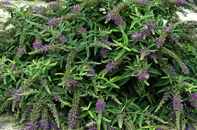 25 best ideas about bushes and shrubs on pinterest for Small bushy trees