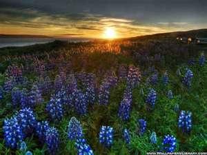 Blue Flowers Field   Wallpapers