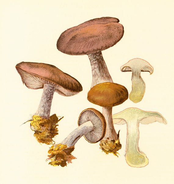 Original print taken from a French 1950' Atlas. Excellent vintage condition. Thick paper. Page size: 22cm x 28.5cm / 8.65 x 11.20 inches.  For more mushroom prints ; www.et... #mycology #drawings