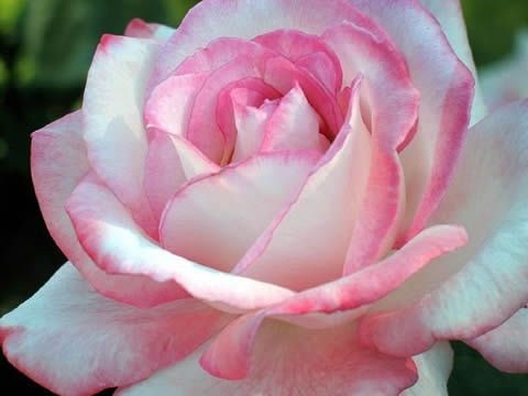 Fotos de flores bonitas rosas pinterest - Fotos de flores bonitas ...
