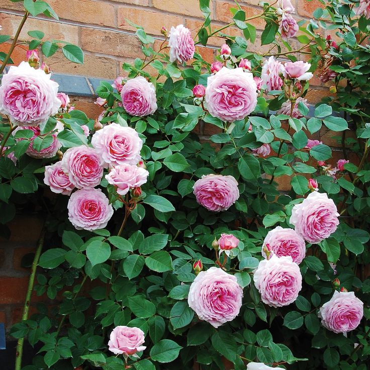 James Galway - Ideal for shade - repeat flowering, disease resistant, fragrant